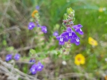 Blue-purple flowers with blurred yellow flowers in background.